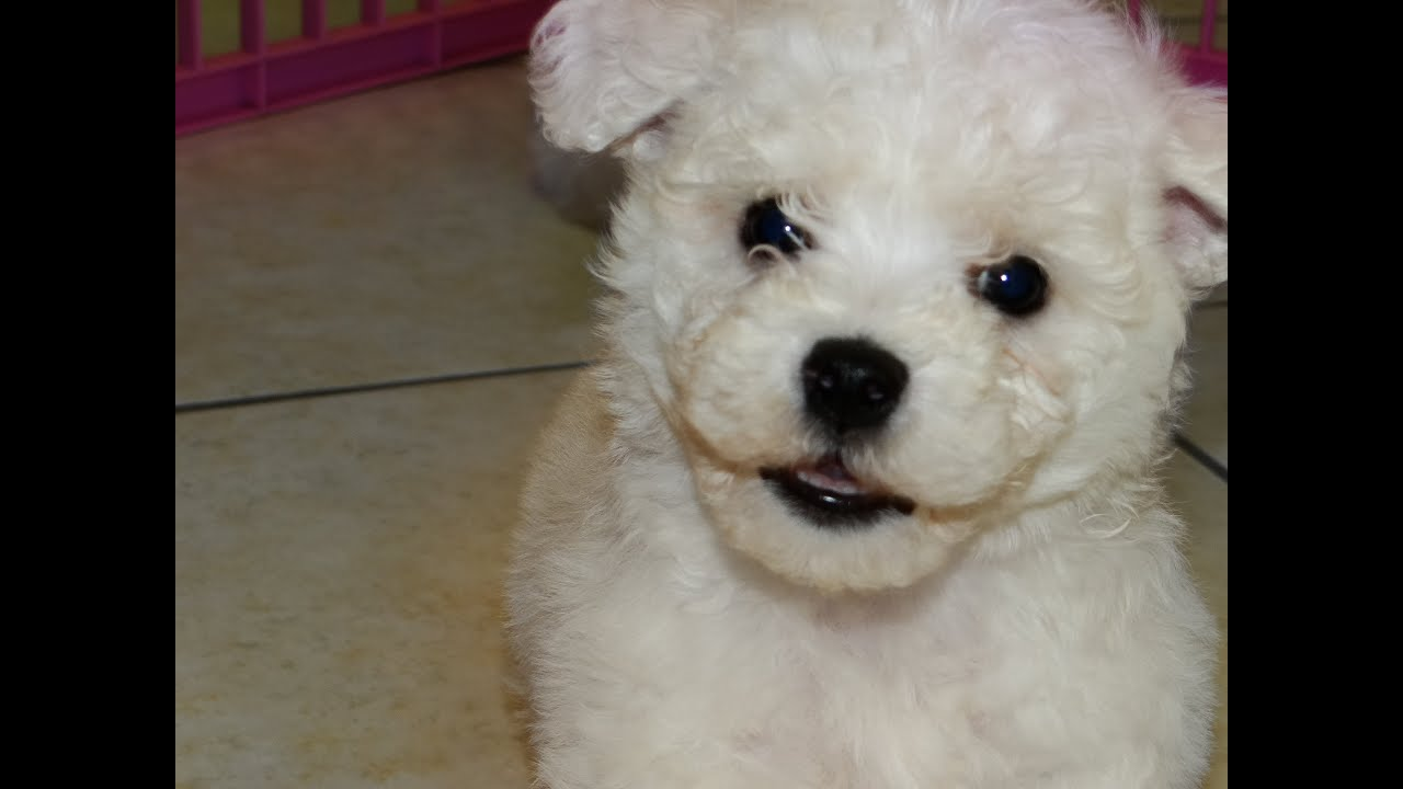 Bichon Frise, Puppies For Sale, In Atlanta, Georgia, GA, 19Breeders