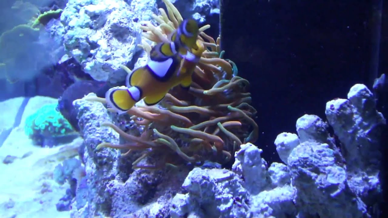 Rose bubble tip anemone care youtube - Anemone species caring color refinement ...