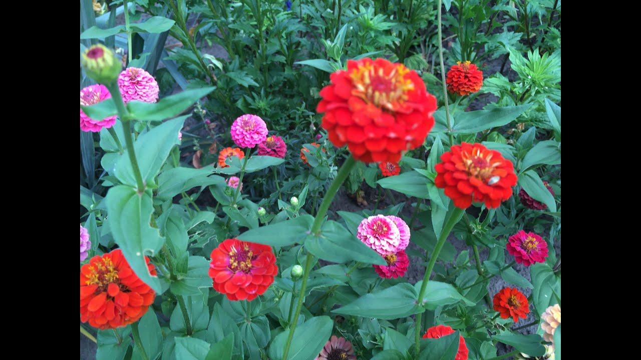 Циния выращивание и уход в открытом грунте 88