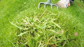 organic lawn weeding - dandelions - aerate lawn - 2 jobs in 1.