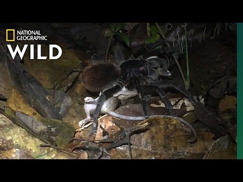 Giant Amazon Spider Preys on Opossum | Nat Geo Wild