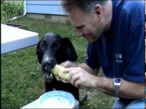 Black Lab Escher eating corn on the cob, my dog Bonehead!