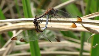 ノシメトンボ (Sympetrum infuscatum)  2010  Video 13