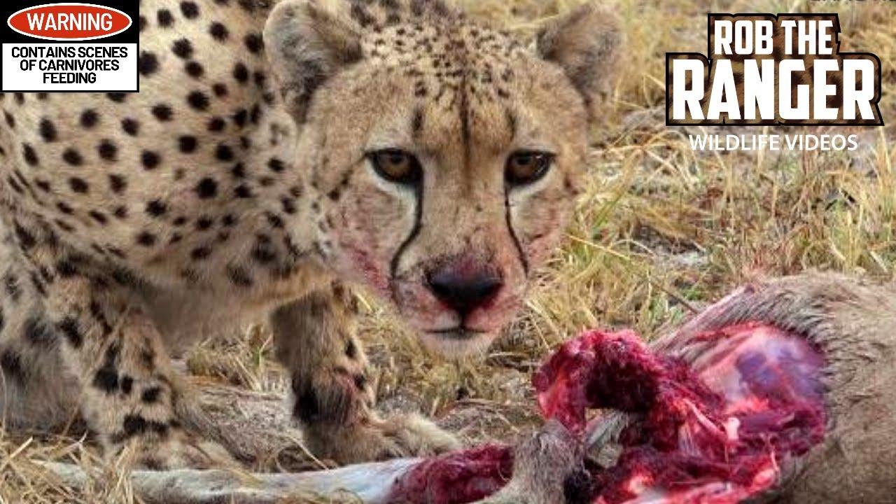 What do gazelles eat