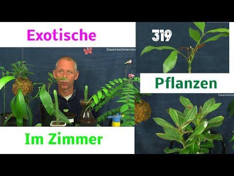 Zimmerpflanzen die Exoten in der Pflege und Anzucht Teil 319 aus der Serie
