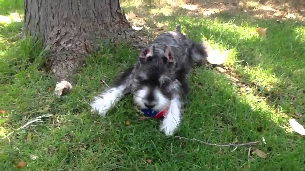 Miniature Schnauzer after ear cropping - YouTube