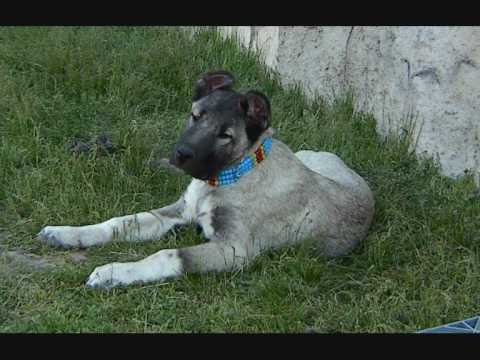 KANGAL KÖPEĞİ KANGAL DOG ANATOLİAN DOG LİON JR. PANZER BEST DOG BİG DOG TURKİSH DOG
