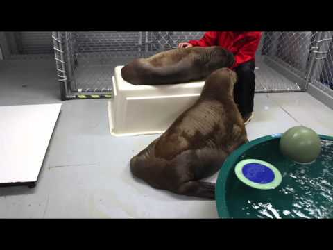 Pakak and Mitik  - Baby Walrus Calves Play
