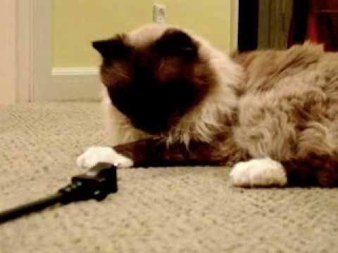 Retro Movie: 18-year old Ragdoll Cat Rags Playing with Electrical Cord - ラグドール -- Floppycats