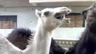 Kamel Lacht.