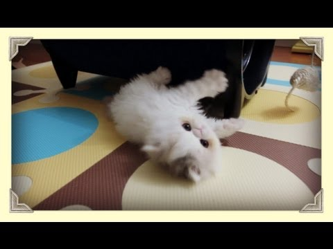 Kitten Marshmallow Too Busy Playing ( Week 7)