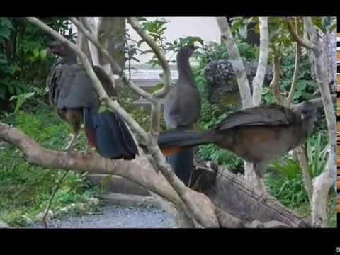 Aracuã, Chaco chachalaca ortalis canicollis, Aves do pantanal, Curassows, Guans, Cracidae,