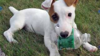 Jack Russell Terrier (The Jack Russell Song)