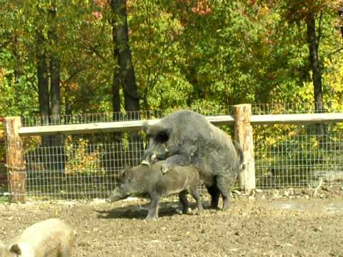 Pig Mating Videos | Pig Mating Video Codes | Pig Mating Vid Clips