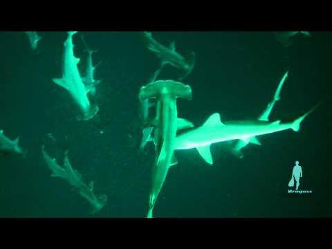 Hammerhead Sharks in Sudan. Scatti realizzati da Gian Melchiori, Mark Bonato e Enrico Rabboni durante una crociera incredibile in Sudan - aprile 2013