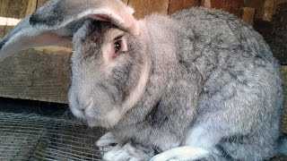Types of rabbits breeds. Raising Continental German Giant Rabbit.