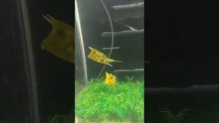 Longhorn cowfish swimming in a planted aquarium.