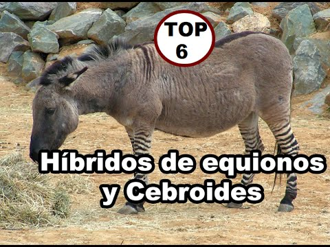 Top 6 Híbridos de Animales Reales 3 equinos y cebroides | English cc