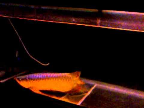 ปลามังกรไม่กิงอาหาร  วิดีโอ0022.3gp
