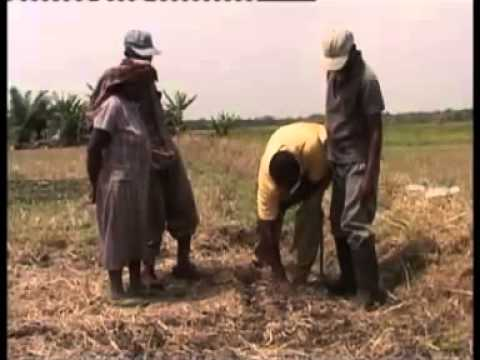 Maize Production Steps Including Application Of Foliar Fertilizers Part I