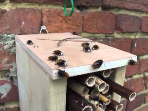 Mason bee males emerging 11 March 2012