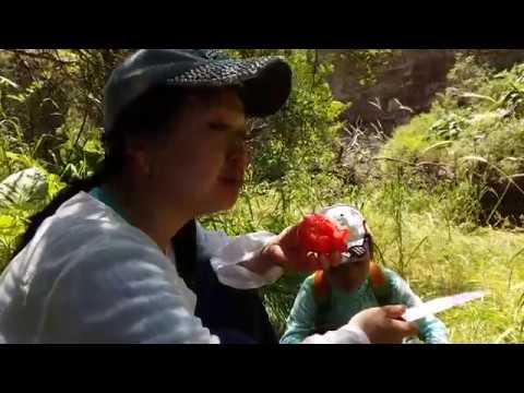 Сахарные помидоры Южного Казахстана