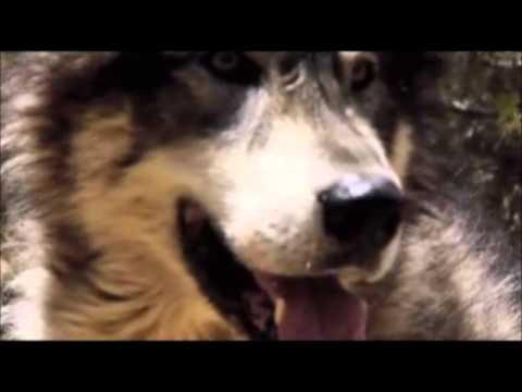 Влюбленный волк уже не хищник