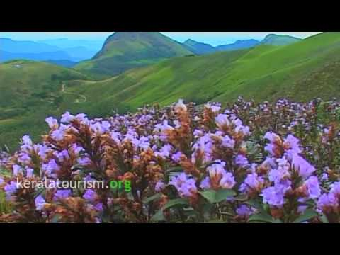 Neelakurinji Munnar  Kerala Tourism