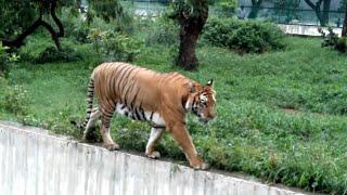Royal Bengal Tiger at DHAKA ZOO