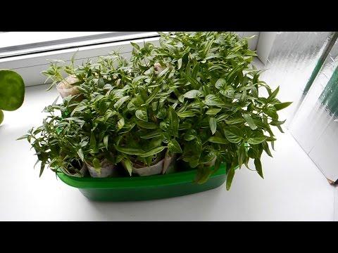 Выращивание рассады перцев в домашних условиях ч.1