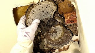 Yellow Jacket Huge Nest Ceiling Infestation Wasp Nest