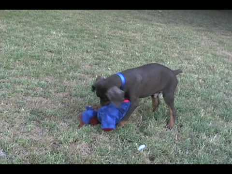Red and Rust Male doberman pinscher puppy playing, Champ lines, born 05/08/09. www.k-ninedobermans.com Photos and videos were taken 07 This cute