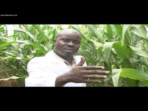 Tests On GM Maize Currently Ongoing On Kenyan Soil
