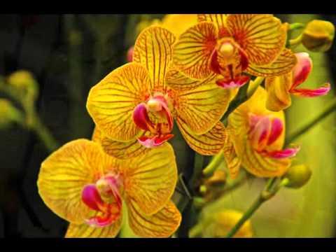Orchideen - Keukenhof - Holland