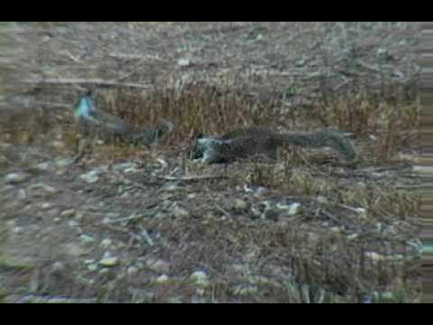 California Ground Squirrel (Otospermophilus Beecheyi) Video