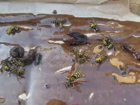 eşşek arısı tuzağı