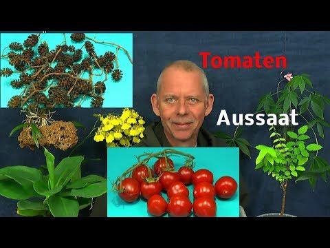 Tomaten Aussaat aus einer Frucht / Erlen Zapfen senken den PH Wert