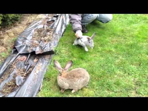 Кролики великаны  Прикольное видео