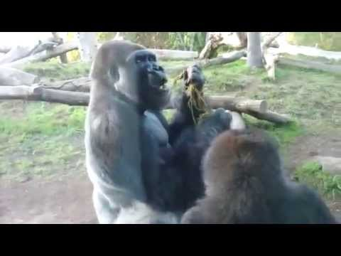 2 Gorrilas Eating Poop - Original video