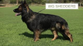 THE GERMAN SHEPHERD DOG FIVE THINGS YOU SHOULD KNOW