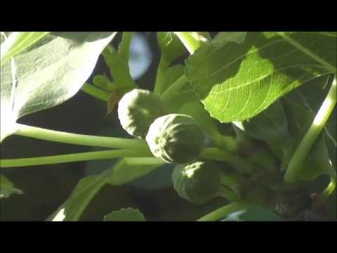 Growing the Brown Turkey Fig Tree