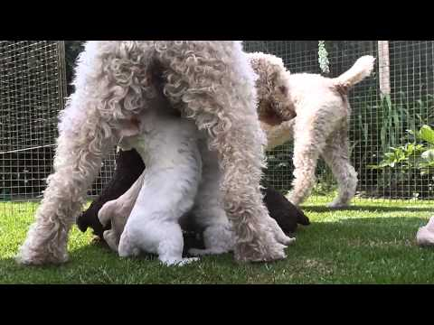 Learn and talk about Spanish Water Dog, Dog breeds, Dog breeds