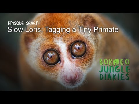Borneo Jungle Diaries: Episode Seven - Slow Loris: Tagging a Tiny Primate [UHD/4K] SZtv