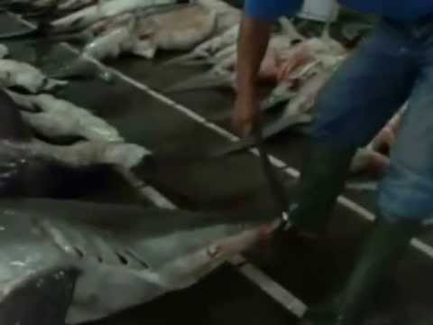 World Ocean Video: Trophic Cascade