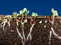 Time lapse radish seeds [video]