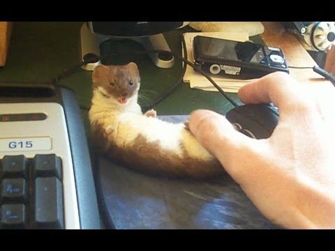 Ozzy The Weasel Wants To Play!