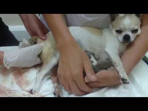 Watch Chihuahua gives birth to a beautiful Puppy Boy
