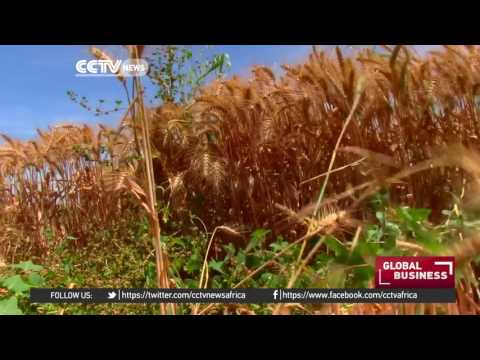 Egypt: Farmers suffer losses as government withdraws subsidies