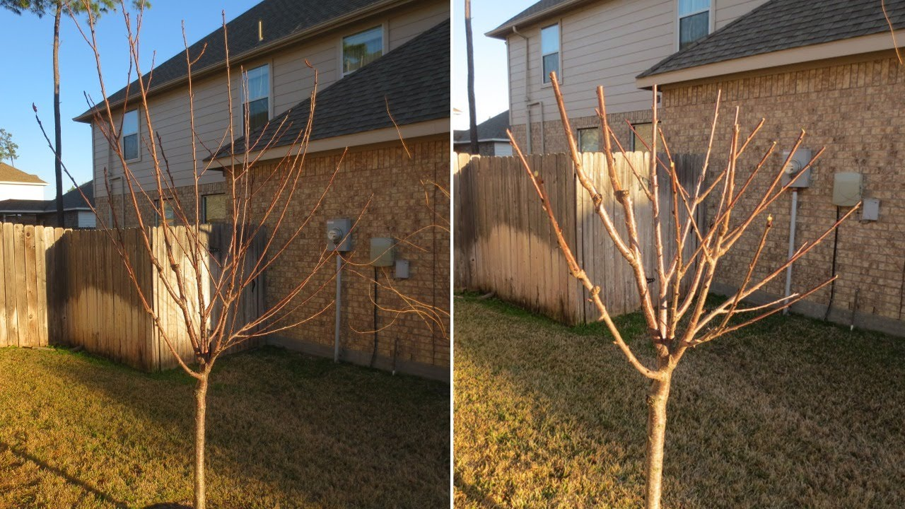 How to Prune Old Apple Trees How to Prune Old Apple Trees new images