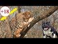 Pit bull vs Jaguar fight real - Jaguar attack guard dogs compilation thumbnail